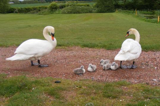 Shropshire swans at the golf centre in shropshire